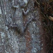 Leaf-tailed Gecko (Uroplatus fimbriatus) camouflaged against a tree, Madagascar.