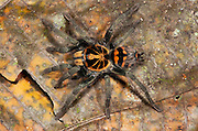 Tiger Tarantula (fam. Theraphosidae, UNDESCRIBED SPECIES)<br /> Yasuni National Park, Amazon Rainforest<br /> ECUADOR. South America