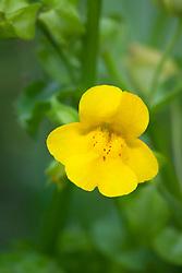 Common Monkey Flower. Mimulus guttatus
