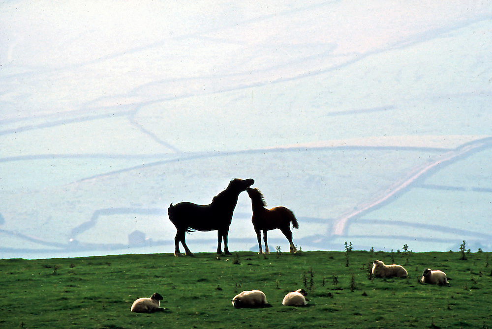 Horses and sheep along the landscape of Northern England.