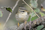 Radde's Warbler - Phylloscopus schwarzi