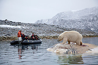 Polar bear (Ursus maritimus) being photographed by tourists, Svalbard, Norway.
