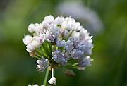 Siberian Garlic Chives (Allium nutans). Norsk: nordlandsløk.