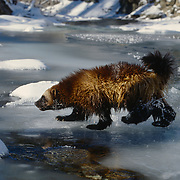 Adult wolverine crossing a semi-frozen river during winter in the Rocky Mountains of Montana. Captive Animal