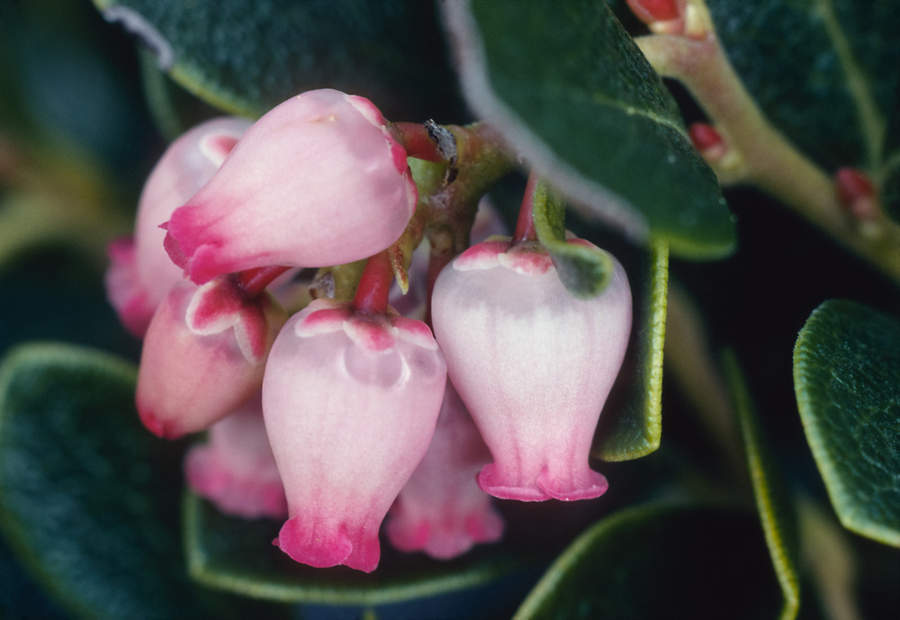 Kinnikinnick (Arctostaphylos uva-uris), Paicific Northwest, USA