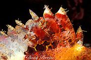 venomous dorsal spines of tassled scorpionfish or smallscale scorpionfish, Scorpaenopsis oxycephala, Sonsorol Island, Southwest Islands, Palau ( Belau ), Micronesia ( Western Pacific Ocean )