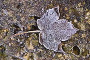 Hoar frost covered Sycamore leaf, Oxfordshire, UK