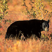 Black Bear, (Ursus americanus) large male on tundra in Denali National Park, Alaska. Fall.