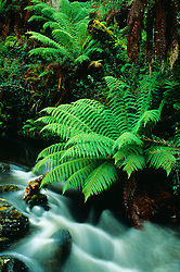 Australia, Tasmania, Tree fern (Dicksonia antarctica) also known as man fern, and waterfall.
