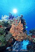 diver photographs coral reef with white margates ( grunts ), Haemulon album, Cozumel, Quintana Roo, Mexico ( Caribbean Sea ) MR 140-142