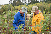 John Eveland and Jim Myers inspect tomatoes