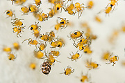 A cluster of baby yellow spiders and one beetle are suspended inside a calla lily (Zantedeschia aethiopica) in a home garden in Seattle, Washington.