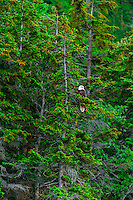 Bald eagle in tree, Lynn Canal, Southeast Alaska USA.