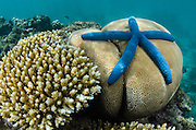 Blue Sea Star (Linckia laevigata)<br /> on coral reef<br /> Fiji. South Pacific