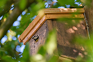 Blue-tit adult carrying chicks' poo-sac out of nest-box