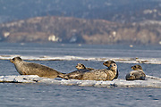 Harbor seals on ice in Alaska