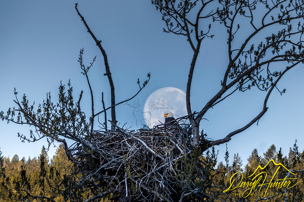 The full moon setting at sunrise behind an eagles nest somewhere in the Greater Yellowstone Ecosystem. <br /> <br /> Shot with a 500mm lens to magnify the eagle and moon, shot using the focus-stacking method to increase depth of field.   Stacked in Photoshop layers then auto-blended.  The image needed additional fine tuning afterward.