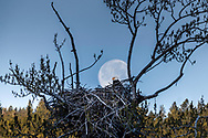 The full moon setting at sunrise behind an eagles nest somewhere in the Greater Yellowstone Ecosystem. <br />
