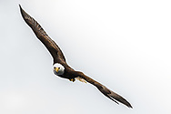 blad eagle comes close while soaring in the alaska wilderness