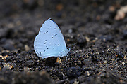 Holly Blue butterfly (Calestrina argiolus) adult on ground feeding on minerals, Oxfordshire, UK.