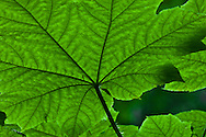 Devil's Club (Oplopanax horridus) in green showing the pattern and texture of the leaf veins