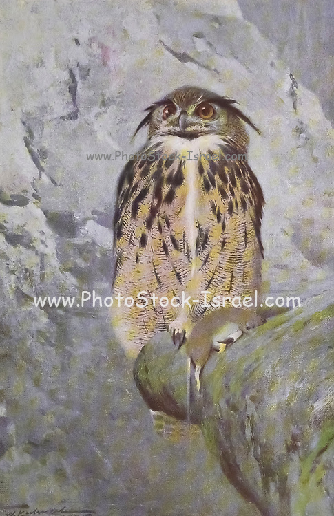 The great horned owl (Bubo virginianus here as Bubo ignavus), also known as the tiger owl from the book '  Animal portraiture ' by Richard Lydekker, and illustrated by Wilhelm Kuhnert, Published in London by Frederick Warne & Co. in 1912
