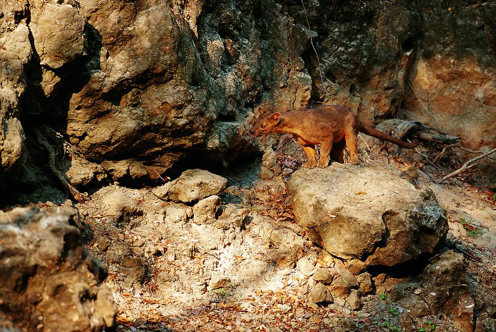 Fossa<br /> Cryptoprocta ferox<br /> Kirindy<br /> Madagascar<br /> Endemic
