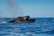 humpback whales, Megaptera novaeangliae; a male in a competitive group pushes on top of a rival male to force his blowhole underwater during a clash in a competition for dominance and access to a female whale, Kona, Hawaii ( the Big Island ), USA, Central Pacific Ocean