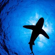 Oceanic whitetip shark (Carcharhinus longimanus) silhouette off Cat Island, Bahamas