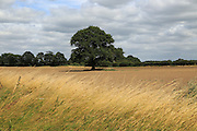 Single large oak tree standing in field in Suffolk Sandlings countryside, Alderton, Suffolk, England,UK