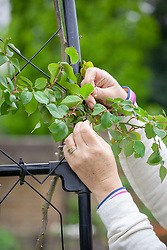 Tying in new growth of climbing roses in spring.