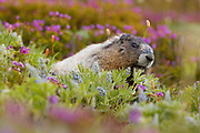 A hoary marmot (Marmota caligata) feeds on lupine in a meadow that also contains pink mountain-heather near Paradise in Mount Rainier National Park, Washington. Marmots develop thick layers of fat during the summer so that they can hibernate for eight to nine months.