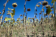 sunflowers growing for sunflower oil