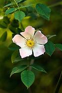 A Wild Rose flower in a Fraser Valley, British Columbia garden