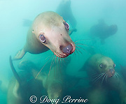 young Steller's sea lions, or Steller sea lion, or northern sea lion, Eumetopias jubatus (an Endangered Species in the western part of its range, and Threatened in the eastern portion), Glacier Island, Columbia Bay, Alaska ( Prince William Sound )