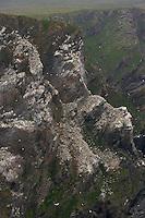 Gannet (Morus bassanus) Colony, Hermaness, Shetland Isles. Scotland