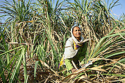 An agricultural labourer is harvesting sugarcane in a field near the village of Barnawa, pop.6000, Baghpat District, Uttar Pradesh, India, located along the banks of the severely polluted Hindon river, on Friday, Apr. 18, 2008. Labourers earn as little as 50-60 Rs (USD 1) for a hard day of work in the fields.