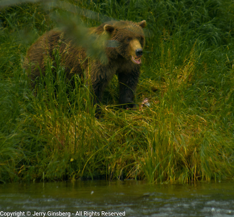 North America, United States, Northwest, Pacific Northwest, West, Alaska, Katmai, Katmai National Park, Brooks River, Grizzly bear, brown bear. Alaskan brown bear (grizzly) at the Brooks River, Katmai National Park, Alaska.