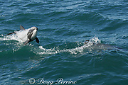 Hector's dolphin, Cephalorhynchus hectori, leaping through the air, Endangered Species, endemic to New Zealand, Akaroa, Banks Peninsula, South Island, New Zealand ( South Pacific Ocean )