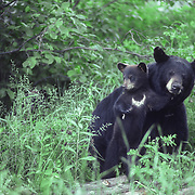 A spring black bear (Ursus americanus) cub nuzzles against a sow while its sibling clings to a tree trunk. Minnesota