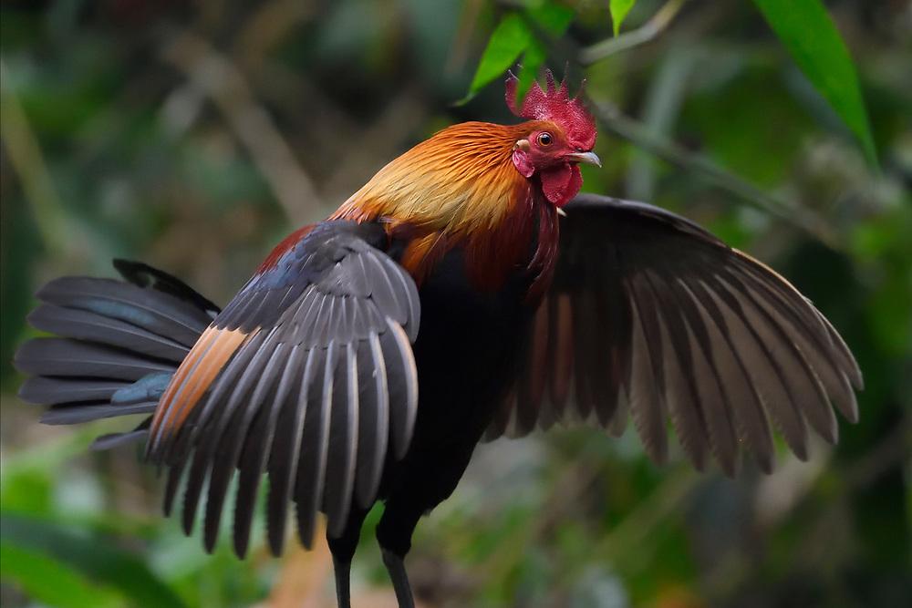 Red Junglefowl, Gallus gallus, male bird walking through the forest of Hong Bung He, Dehong, Yunnan, China