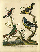 4 typical treecreepers Certhia (or creeper) birds. Handcolored copperplate engraving From the Encyclopaedia Londinensis or, Universal dictionary of arts, sciences, and literature; Volume IV;  Edited by Wilkes, John. Published in London in 1810