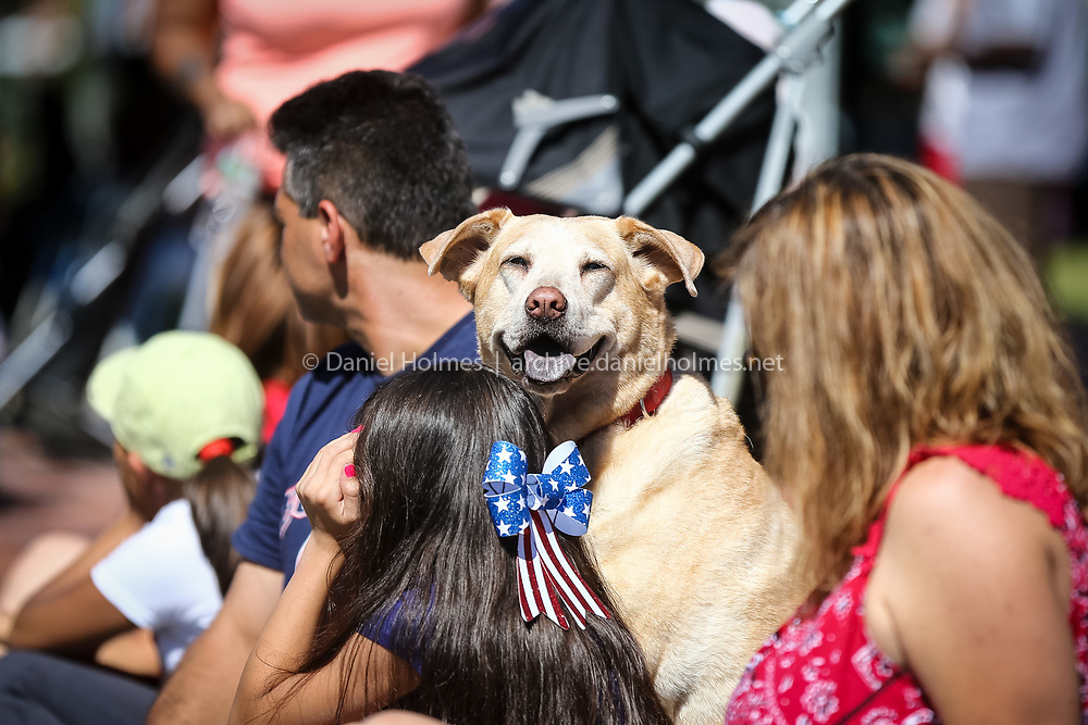 (7/4/16, NATICK, MA) Lola, a 10-year-old yellow lab, from Framingham, watches the Natick Fourth of July Parade in downtown Natick on Monday. Daily News and Wicked Local Photo/Dan Holmes