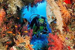 Dendronephthya sp., Korallenriff mit Weichkoralle und Taucher am Abu Fandera Riff, Coralreef and Softcoral and Scuba diver on Abu Fandera Reef, Rotes Meer, Süd Ägypten, Red Sea, South Egypt