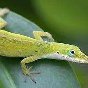 Close-up portrait of green anole lizard.  found at Veterans' Park, Port St. Lucie, FL.
