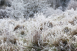 Hoar frost on seedheads in a field in Gloucestershire