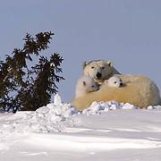 A polar bear mother and her new cubs stop to rest in a snow drift in Wapusk National Park. The cubs are only weeks old and have recently left the den in temperatres of -46F. They will head towards Hudson Bay to hunt seals. The female has not eaten for nearly six months.