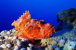 Scorpaenopsis oxycephala, Baertiger Drachenkopf, Tassled scorpionfish, Brother Inseln, Rotes Meer, Ägytpen, Brother Islands, Brothers, Red Sea, Egypt