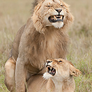 African Lions (Panthera leo) in Masai Mara National Reserve, Kenya, Africa.