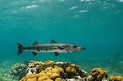Great Barracuda (Sphyraena barracuda)<br /> Hol Chan Marine Reserve<br /> near Ambergris Caye and Caye Caulker<br /> Belize<br /> Central America